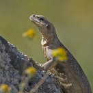 Chuckwalla basking...