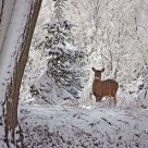 Snowdeer
