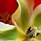 Tulip Duet