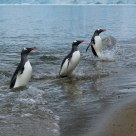 Emerging Gentoo Penguins