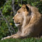 Juvenile Male African Lion