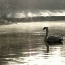 Swan on Frosty Morning