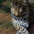 A Leopard Sometimes Nods