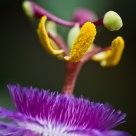 Passiflora Pollen