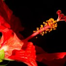 Glamorous Hibiscus