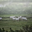 Chevaux de Camargue