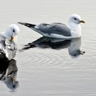 Gull couple in Potter Marsh, Anchorage