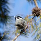Happy Chickadee