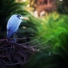 Garza Azul