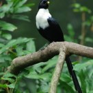 Widelife - White Necked Myna