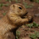 Prairie Dog