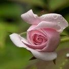 Rosa en el jardín