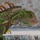 Iguana en el patio