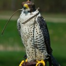 Gyrfalcon
