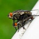 Making Flies