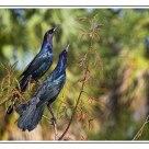 Boat-tailed Grackles / Quiscales des marais