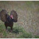 Turkey Vulture  // Urubu à tête rouge