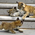 Bobcat cubs playing