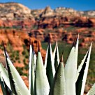 Blue Agave, Red Rock