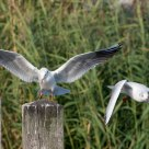 Seagull territorial dispute