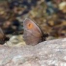 Moiré frange-pie alpin - Erebia euryale adyte