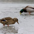 Ducks in the ice