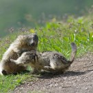 Marmotte - Marmota marmota