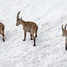 Bouquetin - Capra ibex