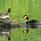 grebes at their nest