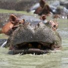 Hippos