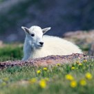 Kid - Wild Mountain Goat, Colorado U.S.A