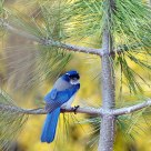 Scrub Jay with leg band