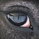 Reflection in the horse's eye