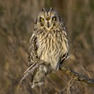 Short-eared Owl with Ears Up.
