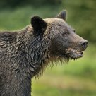 Coastal Grizzly Bear Portrait
