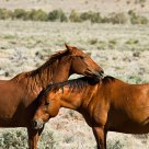 Brumby affection I