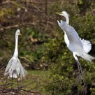 Nesting Egrets