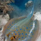 Blue dot Stingray - Taeniura lymna 