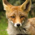 Potrait of a fox