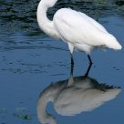 Great White Egret mirrored.........
