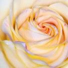 Soft Glow Rose