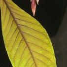 Leaf, Kew