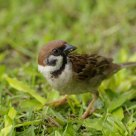 Eurasian Tree-sparrow