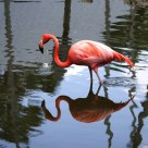 Flamingo and the Reflection