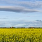 Rapeseed field