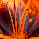 Orange Lily Pistil