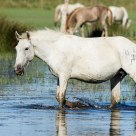 Camargue Horse