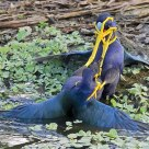 Purple Gallinule Fight