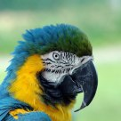 Portrait of a parrot.