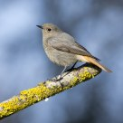 Black Redstart
